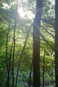 waldentrees